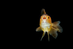 Gold fish isolate Stock Photos