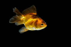 Gold fish isolate Stock Image