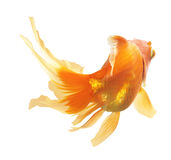 Gold Fish isolated Stock Photo