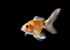 Gold fish isolated on black Royalty Free Stock Photo