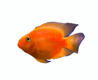 Gold Fish Isolated Over White Stock Image