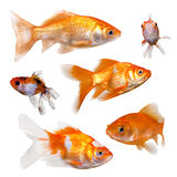 Gold fish isolated on a white background. Collection of goldfish. On clean white background stock photos
