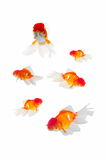Gold fish isolated Royalty Free Stock Images