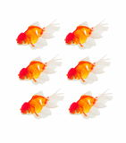 Gold fish isolated Stock Images