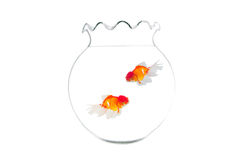 Gold fish isolated Royalty Free Stock Photo