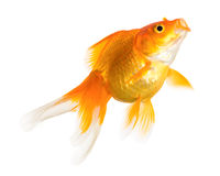 Gold fish. Isolated on white background Royalty Free Stock Image