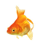 Gold Fish isolated Stock Photography
