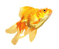 Gold Fish isolated Royalty Free Stock Image