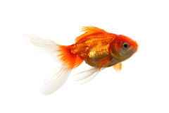 Gold fish isolated on white Royalty Free Stock Photos