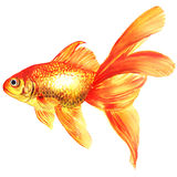 Gold fish. Isolated on the white Royalty Free Stock Photos