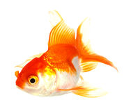 Gold fish. Isolation Royalty Free Stock Photo