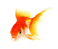 Gold fish. Isolation Royalty Free Stock Photos