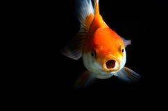 Gold fish on Isolation :  black background Stock Photo