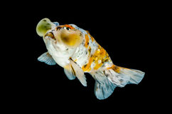 Gold fish  Isolation on the black  Background Royalty Free Stock Photos