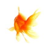 Gold fish Royalty Free Stock Photo