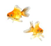 Gold fish. Isolation on the white Royalty Free Stock Photos