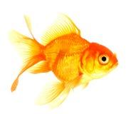 Gold fish. Isolation Stock Photography