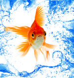 Gold fish. Isolation on white Royalty Free Stock Photo