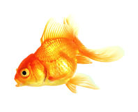 Gold fish. Isolation on the white Stock Images