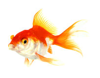 Gold fish. Isolation on the white Stock Photography