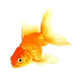 Gold fish. Isolation on the white Royalty Free Stock Photography