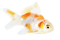 Gold fish. Isolation on the white Royalty Free Stock Images
