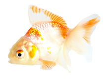 Gold fish. Isolation on the white Stock Photos