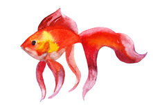 Gold fish. Isolation on the white. watercolor. Gold fish isolated on white background - raster watercolor illustration Stock Images