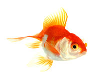Gold fish. Isolation on the white Stock Photos