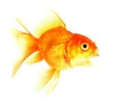 Gold fish. Isolation on the white Stock Image