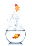 Gold fish jumping. Out of water in fishbowl Stock Photo