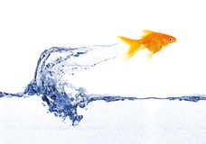 Gold fish jumping Royalty Free Stock Photos