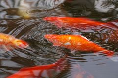 Gold Fish or koi inside a fountain or pond. Swimming gold fish inside a pond, group of kois in orange and white Stock Photography