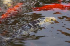 Gold Fish or koi inside a fountain or pond. Swimming gold fish inside a pond, group of kois in orange and white Stock Image