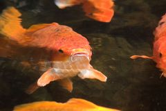 Gold fish_1 royalty free stock images