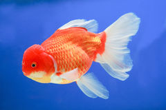 Gold fish in middle water and blue scene backgroun Royalty Free Stock Photo