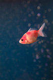 Gold fish in middle water and water bubble backgro Stock Images