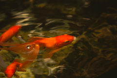 Gold fish in nature pond. Royalty Free Stock Photography