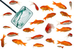 gold fish and net Royalty Free Stock Image