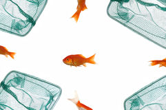 Gold fish and net Stock Photo