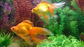 Gold fish pair in aquarium. Bright orange gold fish with long vale fins Royalty Free Stock Photo