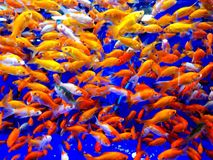 Gold fish. A photo of a crowded aquarium full of gold fish can be used as a colorful background Royalty Free Stock Image
