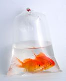 Gold fish in plastic bag Stock Image