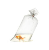 Gold fish in plastic package Royalty Free Stock Photos