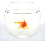 Gold fish in round aquarium. Against white background Royalty Free Stock Image