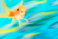 Gold fish with school of fish in motion in background, digital composite.  stock images