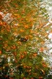 Gold fish schooling Stock Photo