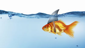 Gold fish with shark flip . Mixed media. Gold fish in water with shark flip on back royalty free stock photos