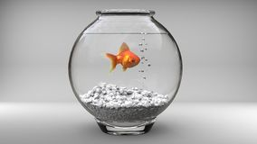 Gold fish in a small fish bowl. On white background Royalty Free Stock Photography