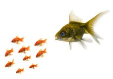Gold fish standing out from the crowd Stock Photo